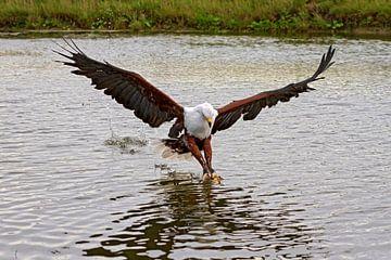 Afrikanischer Fischadler (Haliaeetus vocifer) von gea strucks