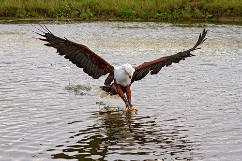 Afrikaanse visarend (Haliaeetus vocifer)