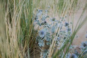 Blaue Seedistel und Gras 01 von Lisenka l' Ami Fotografie