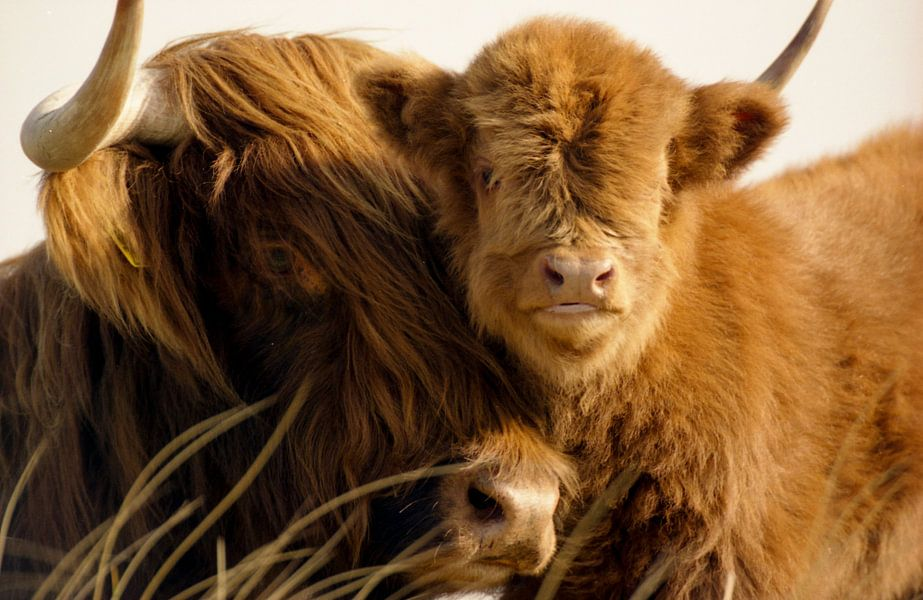 Schotse hooglander met kalfje van Martijn Smit