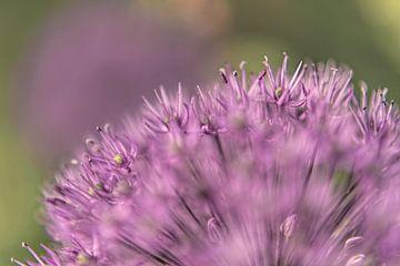 Allium I sur Michael Schulz-Dostal
