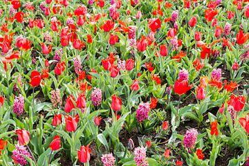 rosa und rote Tulpen auf den Blumenzwiebelfeldern im Küchenhof von ChrisWillemsen