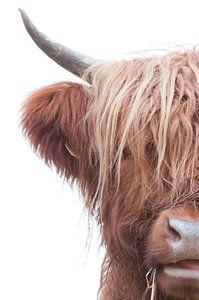 Een halve Schotse hooglander met een witte achtergrond en mooi lang haar