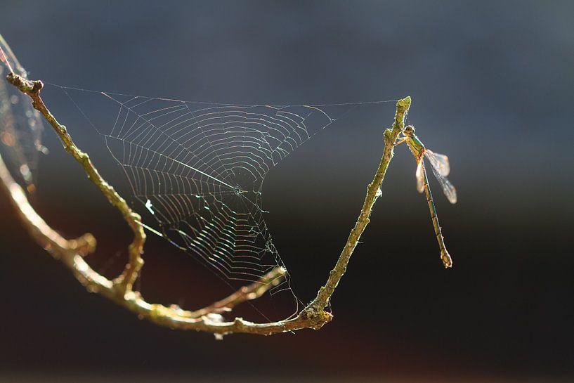 Spinnenweb waterjuffer van Dennis van de Water