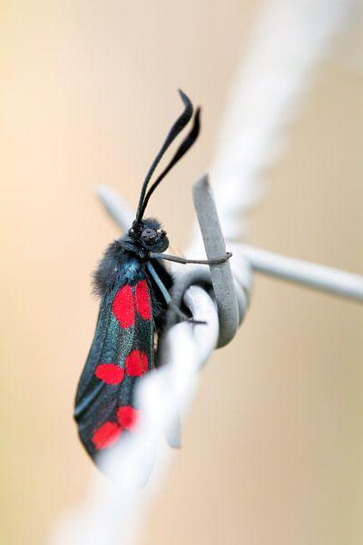 Sint Jansvlinder op prikkeldraad van Annieke Slob