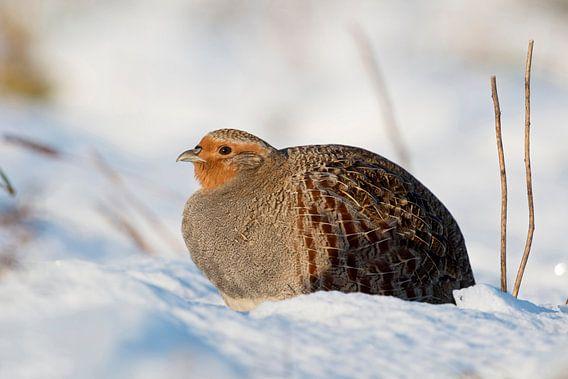Grey Partridge ( Perdix perdix ), adult, sitting in fresh fallen snow, sunny winter morning, wildlif