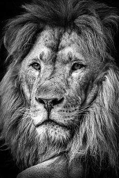 Oude leeuw van Kris Christiaens