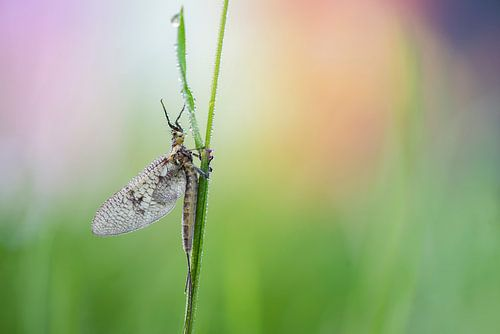 Eendagsvlieg van