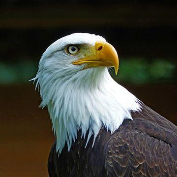 Bald Eagle Head  van Ralf Schroeer