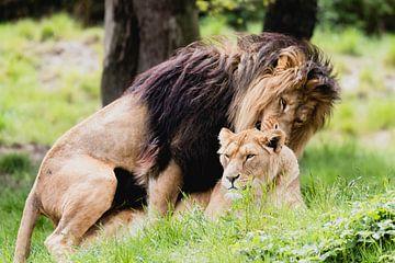 Löwen auf Safari Beekse Bergen