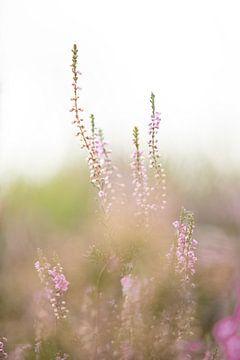 Bloeiende paarse heide bloemen op de veluwe. van Karijn Seldam