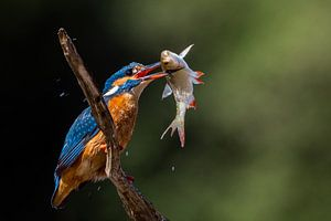 IJsvogel 1 van William Linders