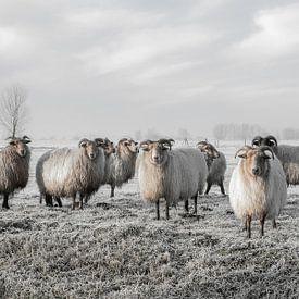 Schapen in de polder van MS Fotografie | Marc van der Stelt