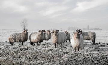 Schafe im Polder (gesehen bei vtwonen) von MS Fotografie | Marc van der Stelt