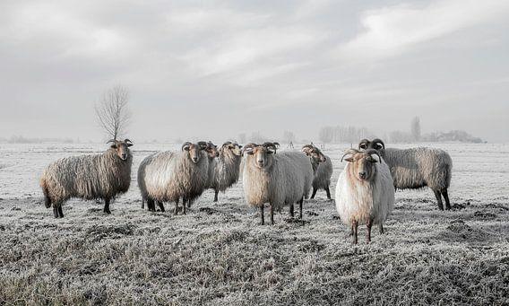 Schafe im Polder (gesehen bei vtwonen)
