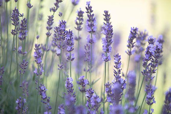 Zarter Lavendel Duft im Sommergarten