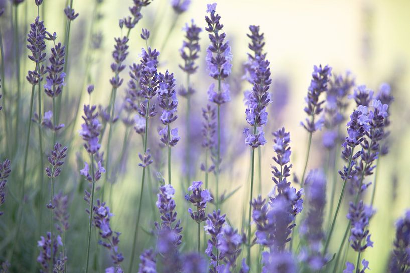 Zarter Lavendel Duft im Sommergarten von Tanja Riedel