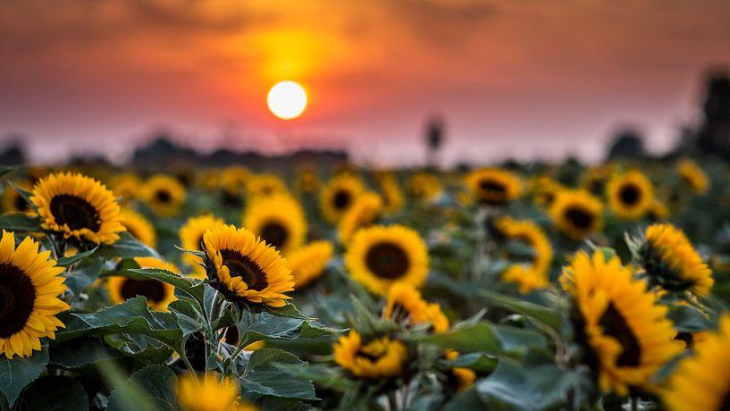 Sunflower von Michel de Koning