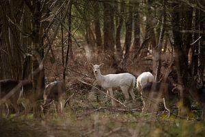 Weißer Damhirsch von Koos Lanting