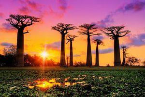 Kleurrijke Baobabs