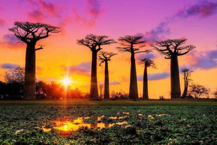 Kleurrijke Baobabs van Dennis van de Water