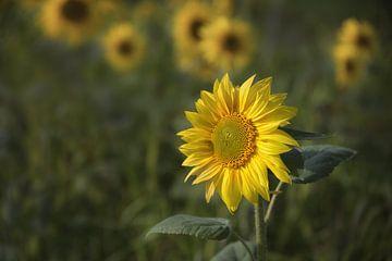 Sonnenblumen von Dieter Beselt
