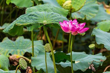 Bloeiende Heilige Lotus van Peter Leenen