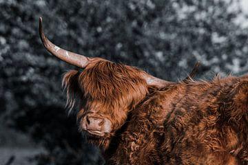 Schottischer Highlander von Kuifje-fotografie