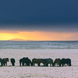 IJslandse paarden tijdens een winterse zonsondergang van Henk Meijer Photography