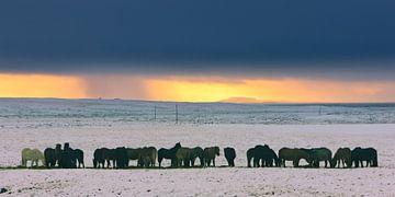 Islandpferde bei winterlichem Sonnenuntergang