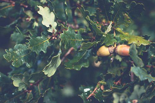 Rijpe bruine eikels tussen de groene eikenbladeren