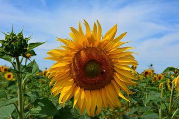 Gelbe Sonnenblume im Ooijpolder von My Footprints
