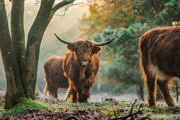 Schottische Highlander in der Natur von Bas Fransen