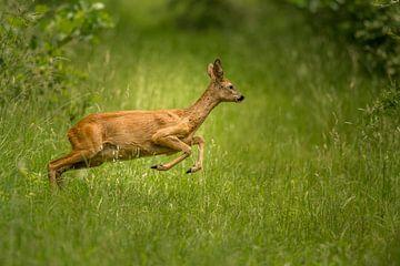 Springende ree in het gras. van Erik de Rijk
