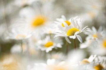 Das Gänseblümchen, in Belgien das Symbol des Gedenkens des Ersten Weltkriegs von