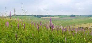 Kalkgrasland met Grote muggenorchis - Zuid-Limburg van