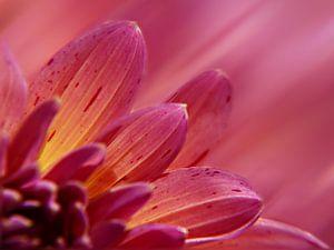 dahlia in roze