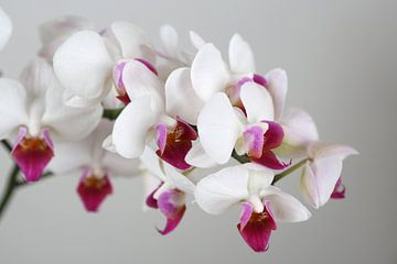 Orchidee von Karina Baumgart