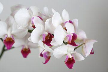 Orchidee van Karina Baumgart