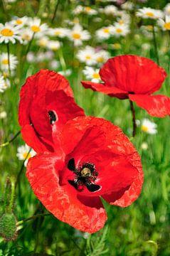 Rote Mohnblumen von Corinne Welp