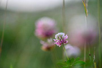 trifolium von Tania Perneel