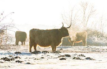 Schotse Hooglanders in winterlandschap van Ans Bastiaanssen
