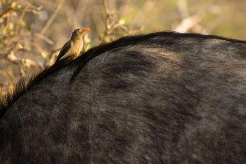 African Buffalo von