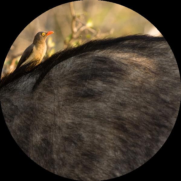 African Buffalo sur Jasper van der Meij