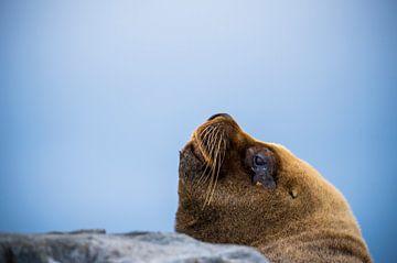 Chili - grote zeeleeuw van Jack Koning