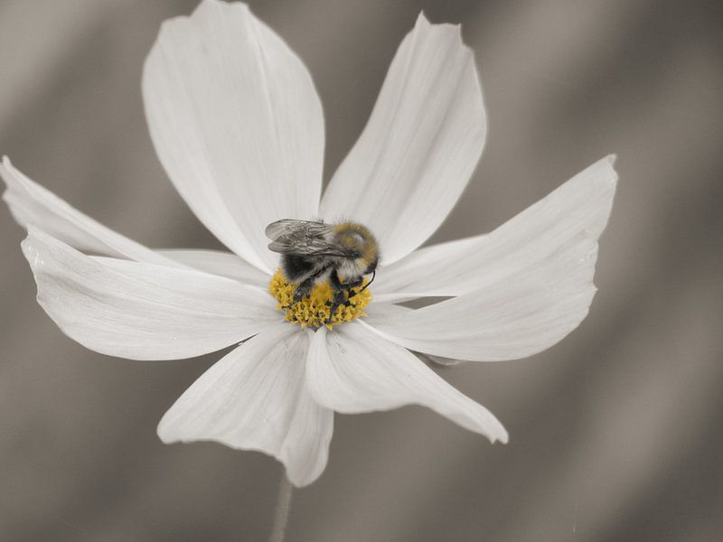 Hommel op Cosmea bloem Sepia van bird bee flower and tree