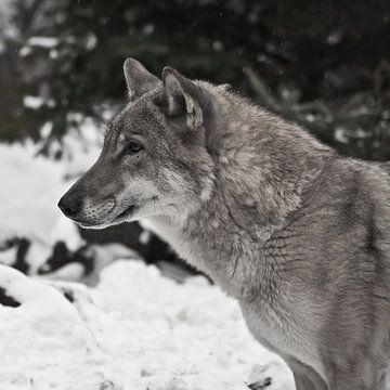 Der graue Wolf auf winterlich weißem Schnee ist ein Raubtier. Kopf eines Wolfes im Profil Nahaufnahm von Michael Semenov