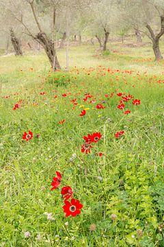 Romantisch bloemenveld in olijfboomgaard van