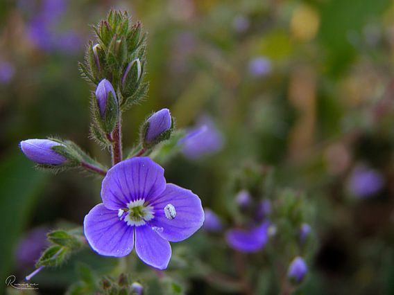 The little blue flower