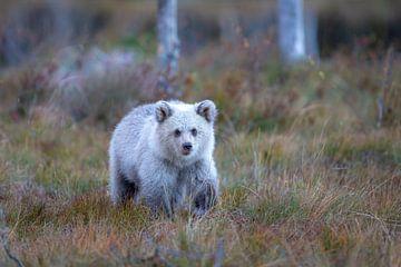 Bruine beer jong Finland sur Han Peper